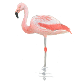 Chileense flamingo / Elwin van der Kolk