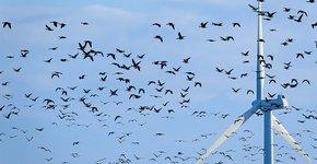 Windmolen en ganzen / Shutterstock
