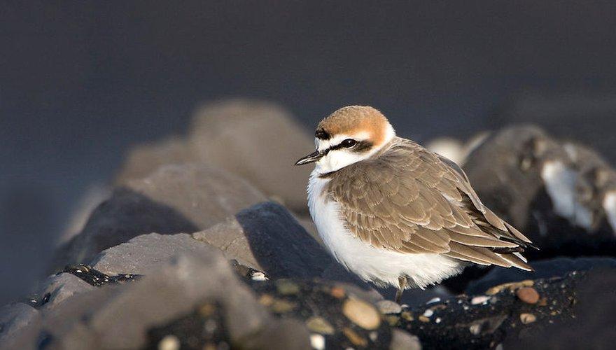 Strandplevier / Birdphoto