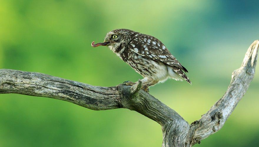 Steenuil met worm / Shutterstock