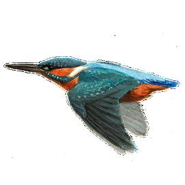 IJsvogel / Elwin van der Kolk