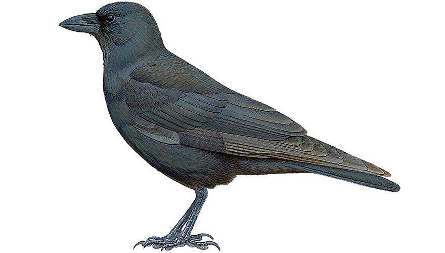 Hawaikraai / BirdLife
