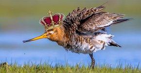 Koning van de weide / Shutterstock