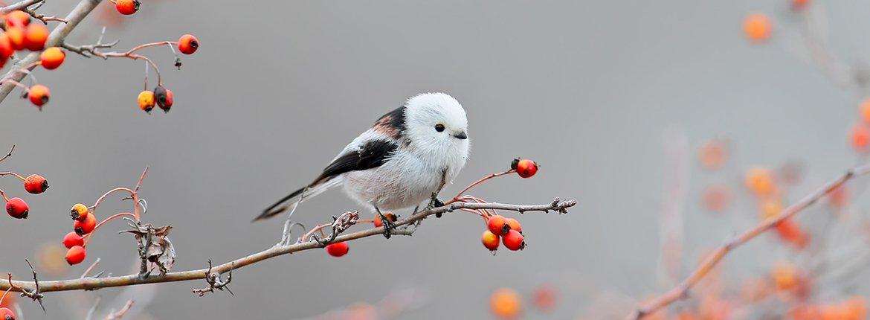 Witkopstaartmees / Shutterstock