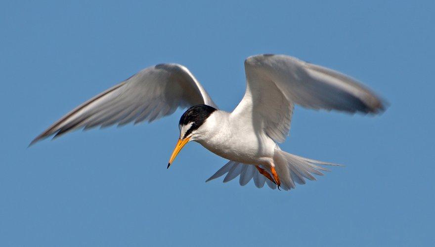 Dwergstern / Birdphoto