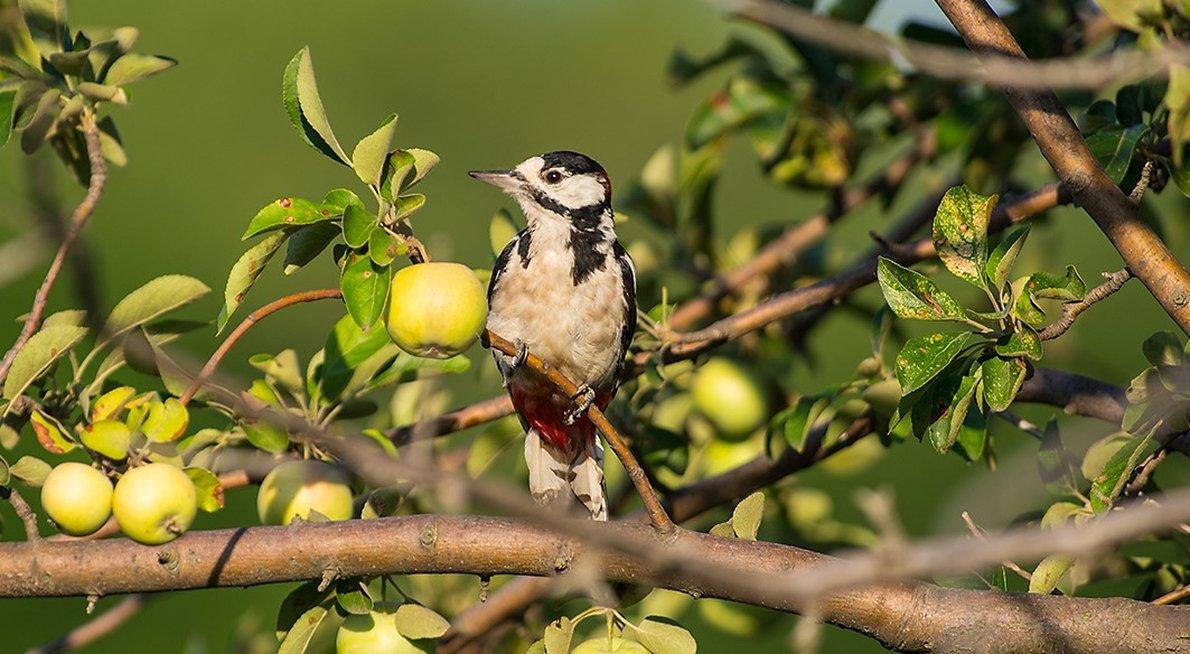 Grote bonte specht  appelboom /  Shutterstock
