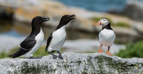Alk en papegaaiduiker / Shutterstock