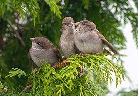 Jonge huismussen / Paul Sinnema - Vogelweb
