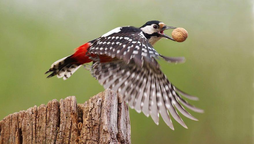 Grote bonte specht / Shutterstock