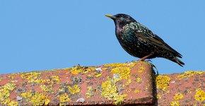 Spreeuw op dak / Jouke Altenburg