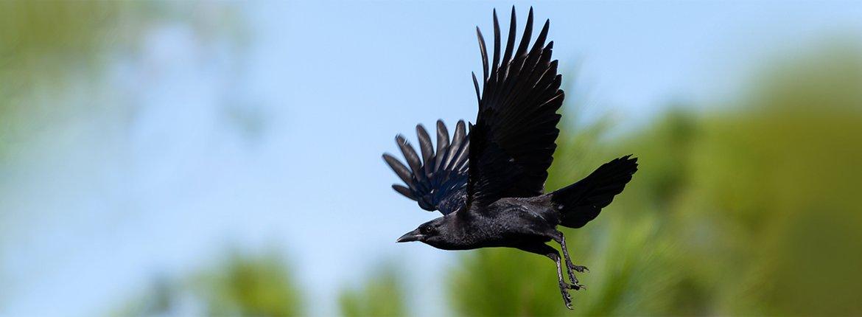 Zwarte kraai / Shutterstock