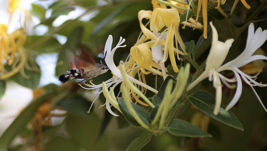 Kolibrievlinder kamperfoelie / Pixabay