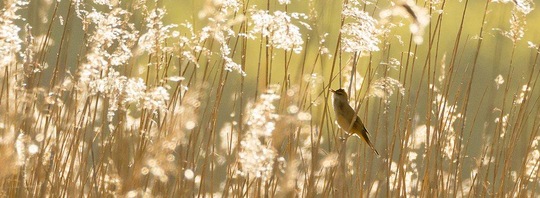 Grote karekiet / Shutterstock