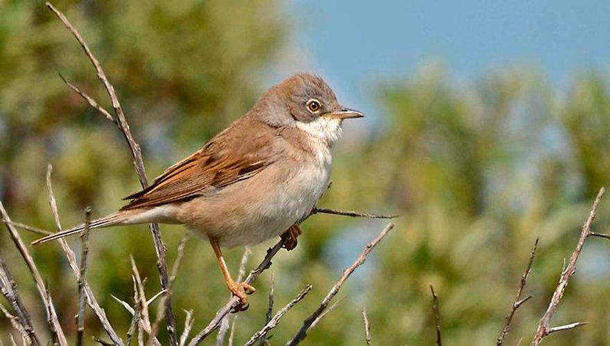 Grasmus / piazz (Vogelweb)