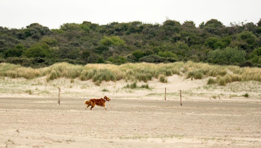Loslopende hond op strand / Hans Peeters