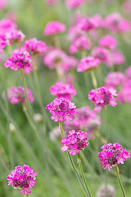 Engels gras / Shutterstock