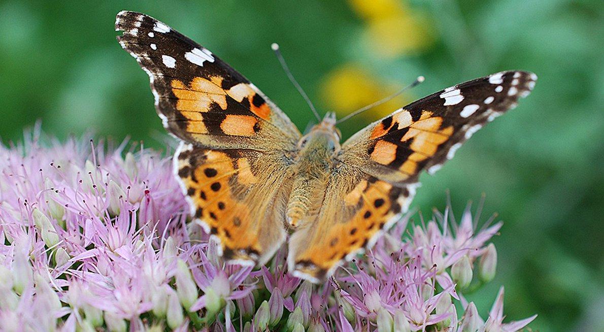 Vlinder op sedum / Pixabay