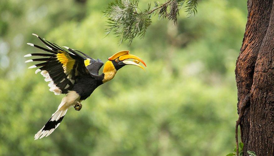 Dubbelhoornige neushoornvogel / Angadachappa (BirdLife)