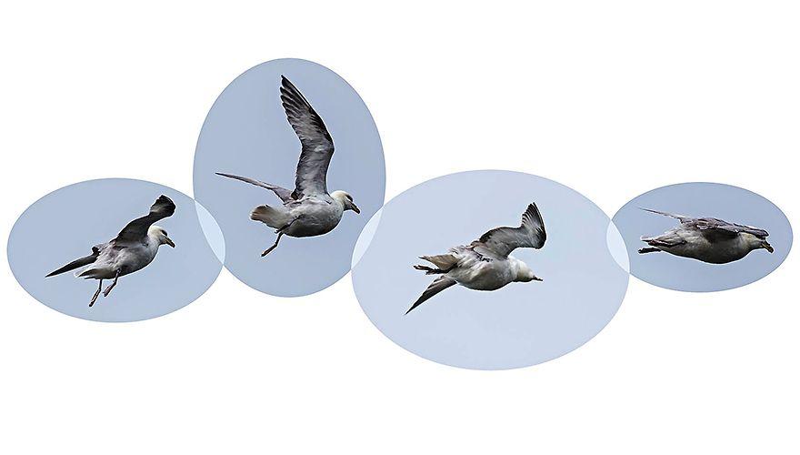 Noordse stormvogel / Jan Gaeth