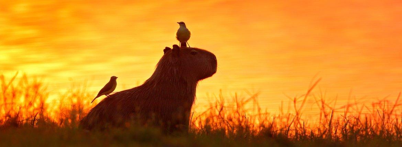 Capibare Pantanal / Shutterstock