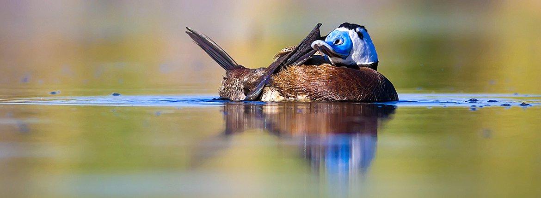 Witkopeend / Shutterstock