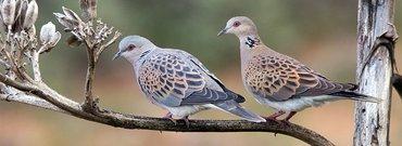 Zomertortel / Birdphoto