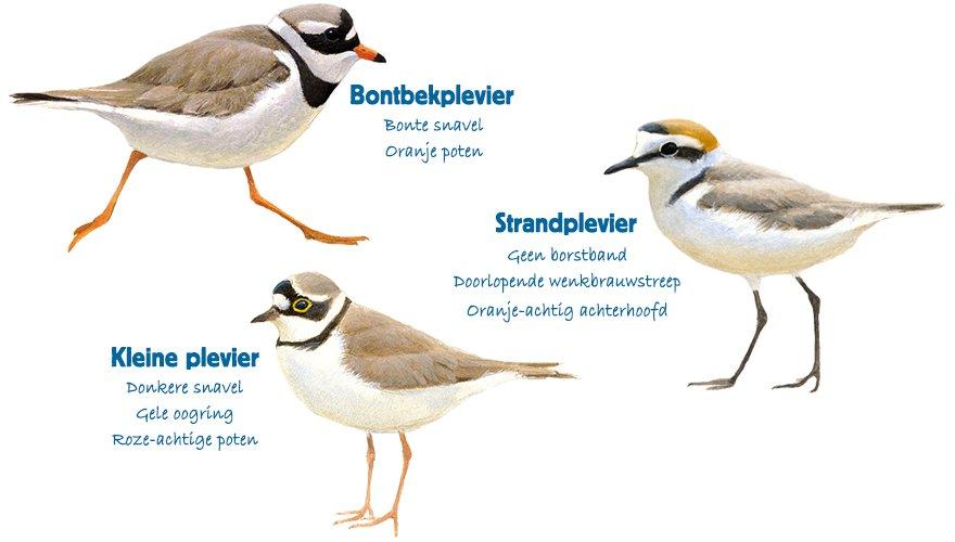 Infographic bontbekplevier, kleine plevier en strandplevier