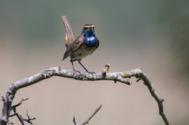 Zingen uit blauwe borst