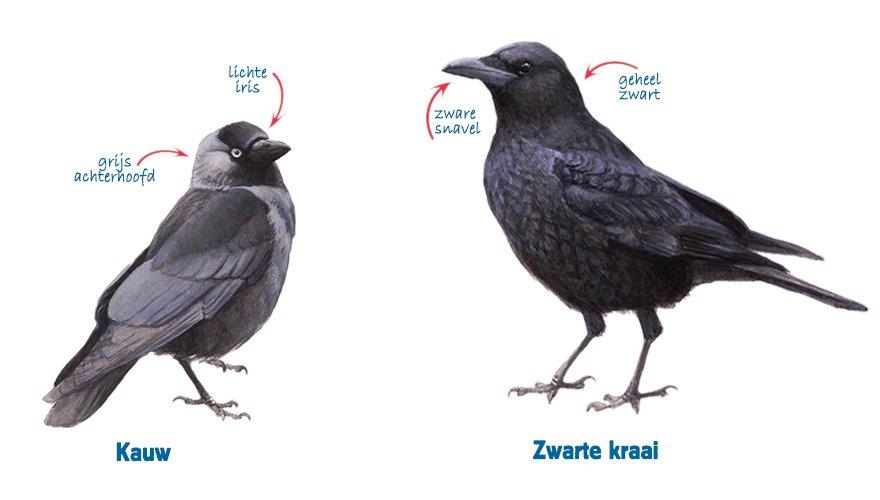 Infographic kauw - zwarte kraai