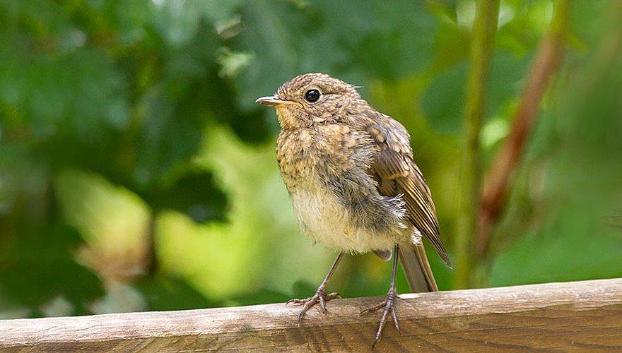 Roodborst / Adri de Groot - Vogeldagboek