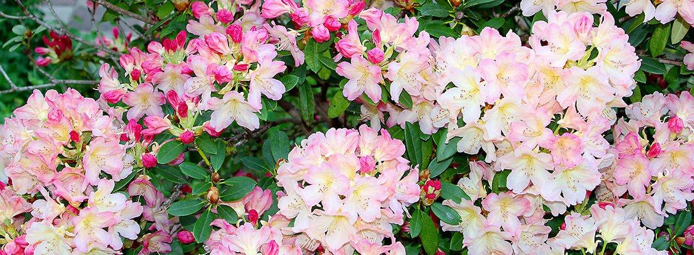 Rhododendron / Shutterstock