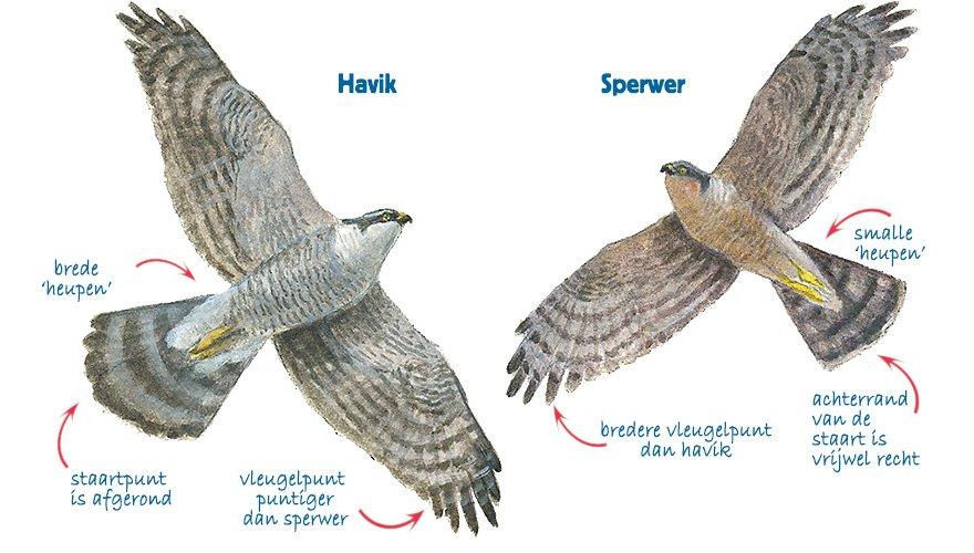 Infographic havik - sperwer
