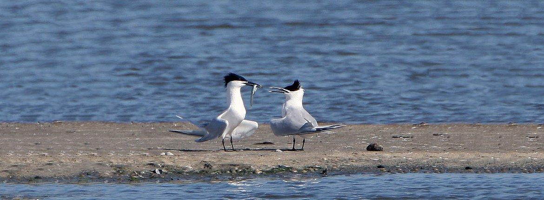 Grote stern / Birdphoto