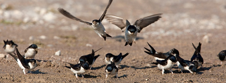 Huiszwaluwen / Wil Leurs - Agami