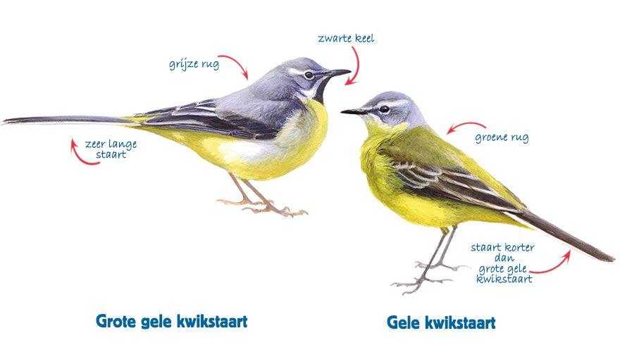 Infographic grote gele kwikstaart - gele kwikstaart