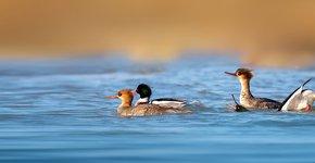 Middelste zaagbek / Shutterstock