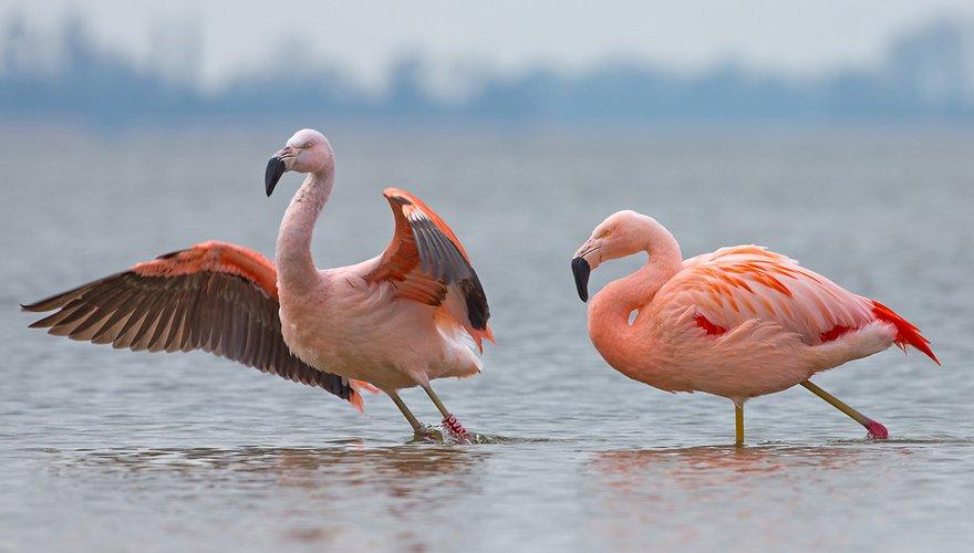 Chileense flamingo / Shutterstock