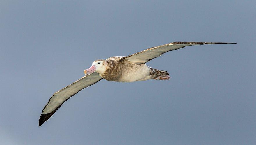 Grote albatros / Otto Plantema