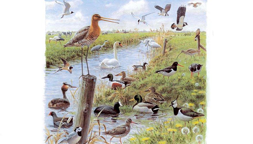 Weidevogeltekening Elwin van der Kolk