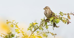 Grauwe gors / Shutterstock