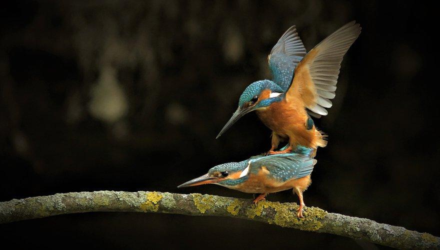 IJsvogel / Hille de Bruin (Fotogalerij)