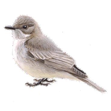 Grauwe vliegenvanger / Elwin van der Kolk