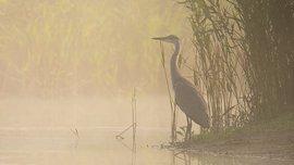 Blauwe reiger in de mist / Hans Peeters