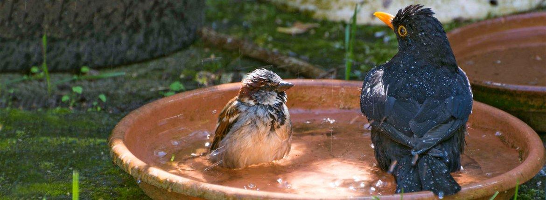 Huismus en merel in bad / Lisette van Straaten