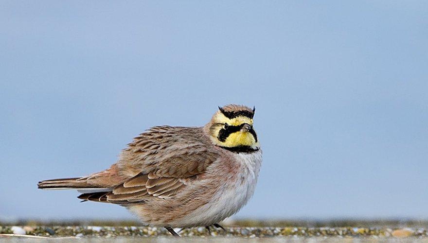 Strandleeuwerik / Birdphoto
