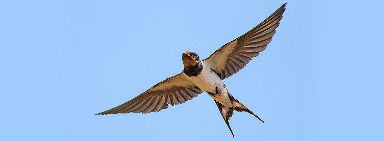 Boerenzwaluw / Shutterstock