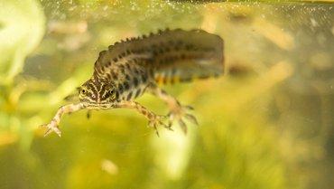 Kleine watersalamander / Hans Peeters