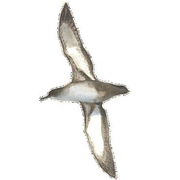 Vale pijlstormvogel / Elwin van der Kolk