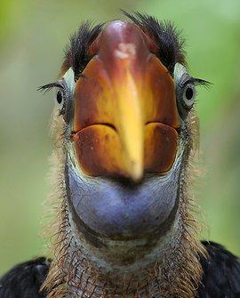 Sulawei neushoornvogel / Barend van Gemerden