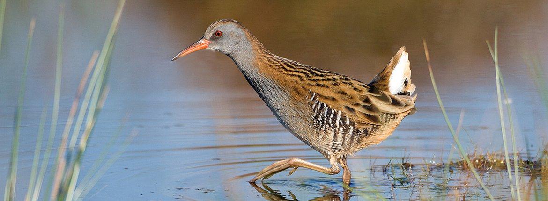 Waterral / Birdphoto